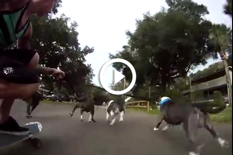 4 pitbulls tirent un skater