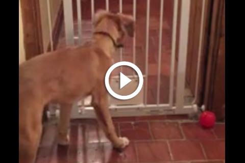 Comment ce chien très malin parvient toujours à s'échapper