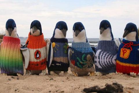 Il tricote pour les manchots