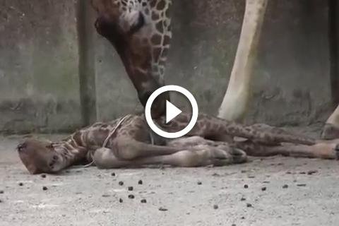 Naissance d'une girafe au zoo de memphis