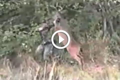 Un cerf attaque un chasseur