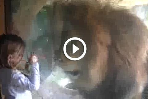 lion qui veut manger une petite fille