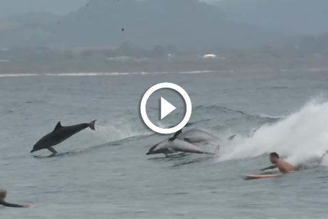 magnifique des dauphins qui jouent avec les surfeurs