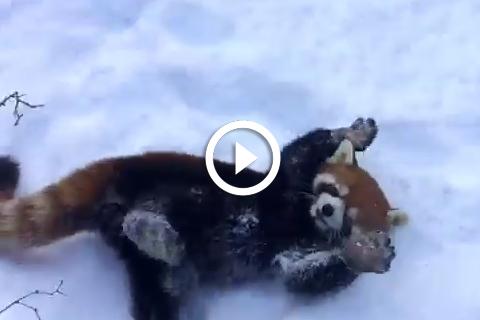 panda roux qui joue dans la neige