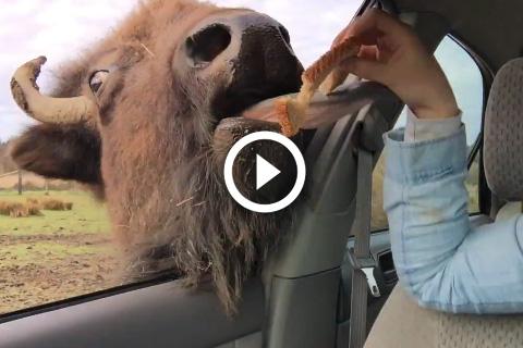 Une langue de bison c'est énorme