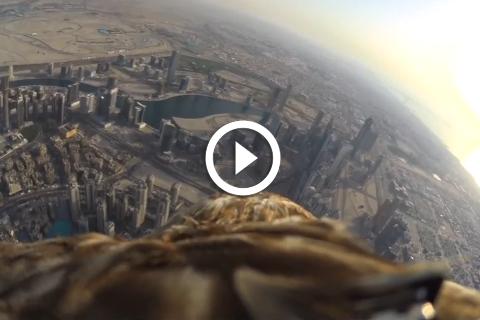 aigle impérial avec une caméra embarquée