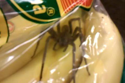 araignée trouvée dans un sachet de bananes