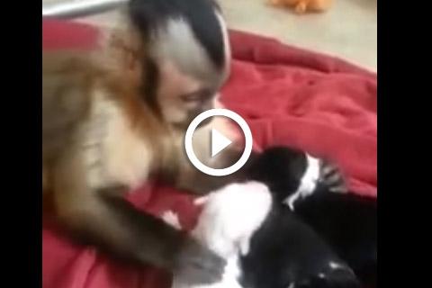 câlins entre un singe et des chiots