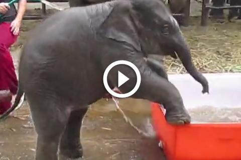 cest l'heure du bain pour cet éléphanteau