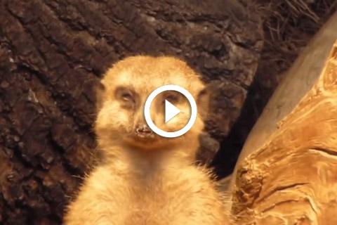 suricate fatigué