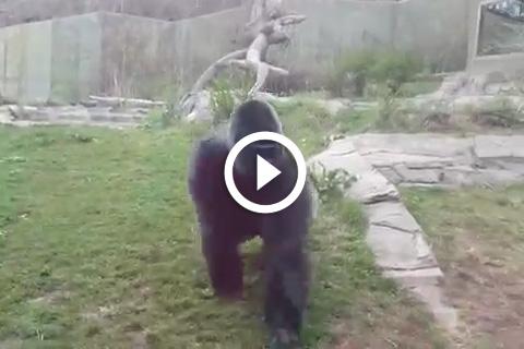 gorille en colère fracasse la vitre de son enclos