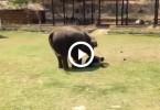 Un elephant sauve un humain